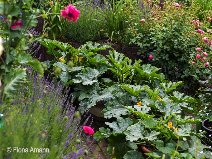 vier topf zucchini im topfgarten das pflanzk bel blog. Black Bedroom Furniture Sets. Home Design Ideas