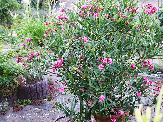 oleander pflegen durchs ganze jahr und mit stecklingen vermehren. Black Bedroom Furniture Sets. Home Design Ideas