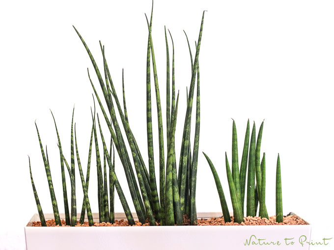 Bogenhanf (Sanseverie) ist eine pflegeleichte Zimmerpflanze   Das ...
