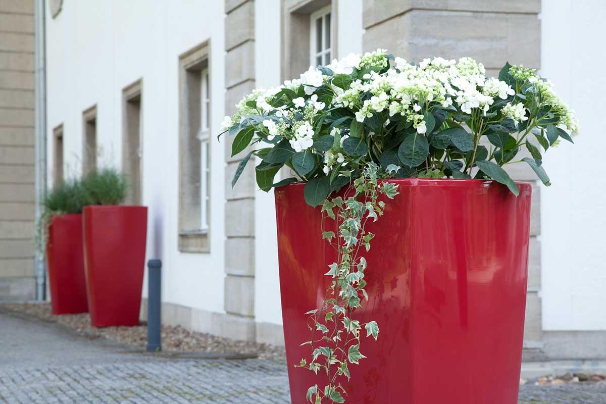 Weiße Hortensien in eleganten XXL-Pflanzkübeln