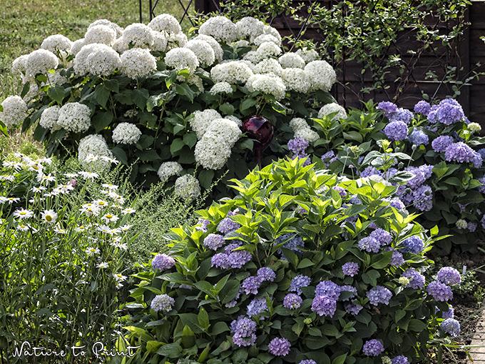 Etwas Neues genug Hortensien im Pflanzkübel pflegen und sicher überwintern. #WL_58