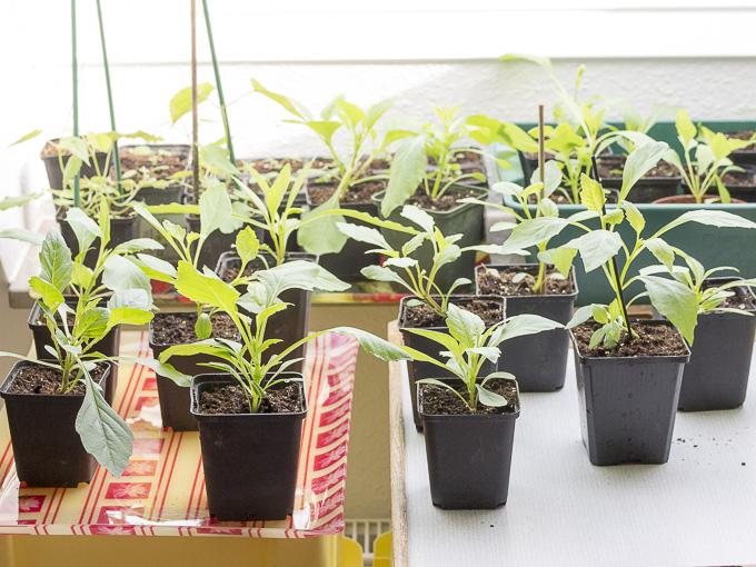 Etwas Neues genug Dahlien, Jungpflanzen unterm Dachfenster | Das Pflanzkübel-Blog &EU_61