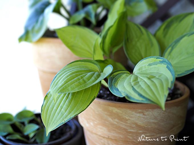 Hostas im Topfgarten. Bezaubernde Blattschmuckpflanzen für den Schatten.