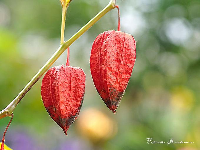 Lampionblumen im Pflanzkübel