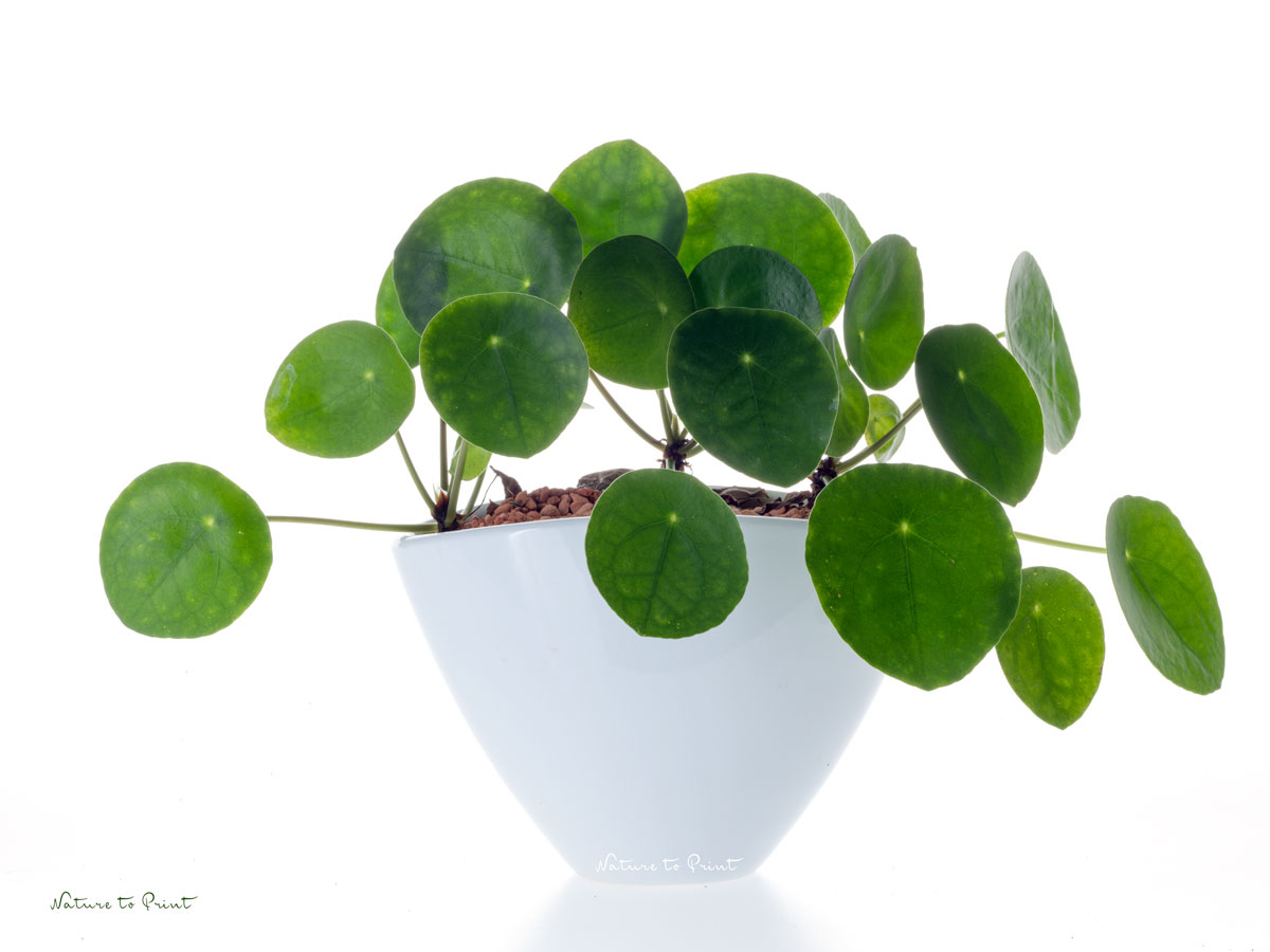 pilea peperomioides03 das pflanzk bel blog. Black Bedroom Furniture Sets. Home Design Ideas