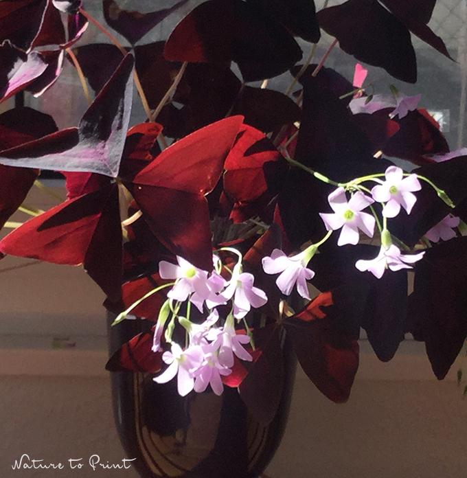 Roter Dreiecksklee Oxalis triangularis, blühend