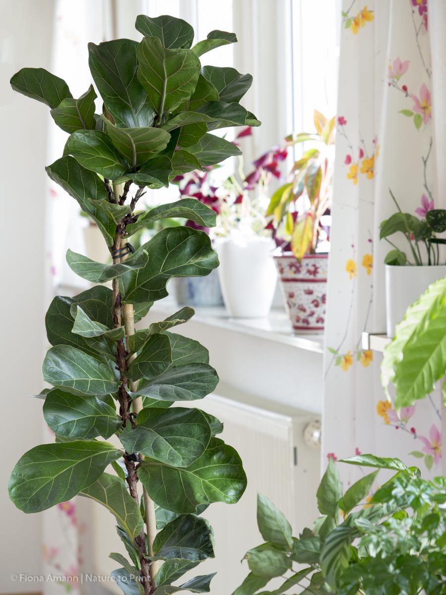 Zimmerbaum Geigenfeige, Ficus lyrata im Pflanzkübel