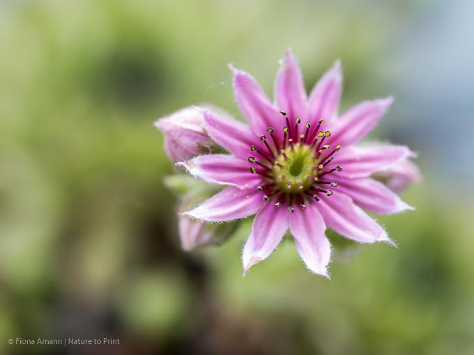 Blumenbild Blüte einer Hauswurz